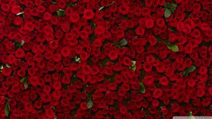 many_red_roses-wallpaper